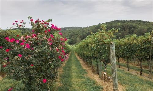 Cave Ridge Vineyard